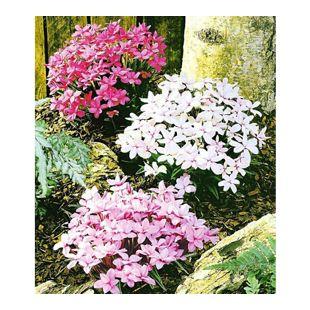 Winterharter Bodendecker Grasstern Twinkle Star®, 3 Pflanzen im Mix