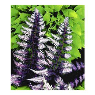 Winterharter Schmuck-Farn 'Japanese Painting', 1 Pflanze Athyrium