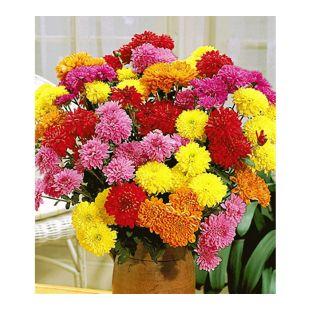 Gefüllte Garten-Chrysanthemen Mix, 3 Pflanzen Chrysanthemum indicum
