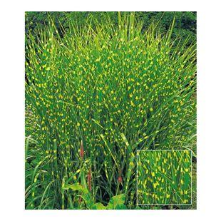 Chinaschilf Zebragras, 1 Pflanze Miscanthus zebrinus strictus