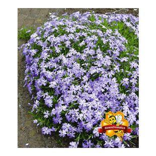 Blauer Teppich-Phlox, 3 Pflanzen