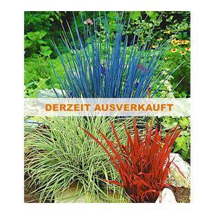 Ziergras Farb-Mischung, 3 Pflanzen Imperata cylindica, Festuca glauca, Carex ashimens
