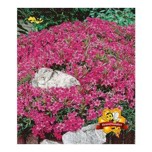 Winterharter Bodendecker Roter Teppich-Phlox, 3 Pflanzen