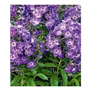 Duft-Phlox 'Violett-Blau', 3 Knollen
