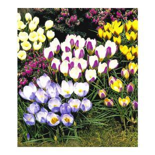 Wildkrokusse, Botanische Krokusse Kollektion, 100 Zwiebeln, Crocus chrysanthus Mix