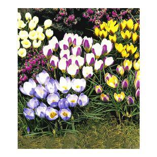Wildkrokusse, Botanische Krokusse Prachtmischung,  100 Zwiebeln, Crocus chrysanthus Mix
