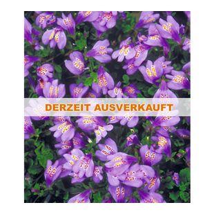 Winterharter Bodendecker 'Mazus Reptans', 3 Pflanzen