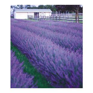 Lavendel 'Phenomenal®', 3 Pflanzen Lavandula