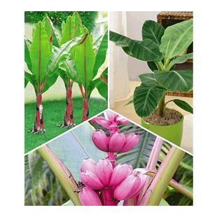 Bananen-Pflanzen Kollektion;3 Pflanzen