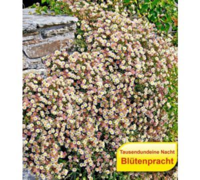 Oleander Standort Garten: Japanische Pflanzen Winterhart