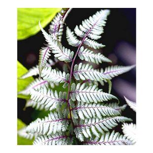 Winterharter Schmuck-Farn 'Silver Falls®', 1 Pflanze Athyrium