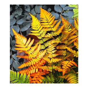 Winterharter Schmuck-Farn 'Golden Brilliant', 1 Pflanze Dryopteris