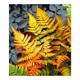 Winterharter Schmuck-Farn 'Golden Brilliant', 1 Pflanze Dryopteris