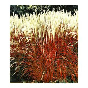 Ziergras 'Indian Summer' Chinagras, Chinaschilf, 1 Pflanze Miscanthus sinensis