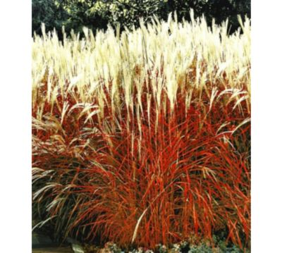 Ziergras Garten ziergras indian summer chinagras chinaschilf 1 pflanze