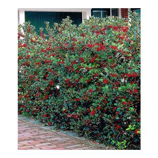 Ilex-Hecke 'Heckenfee®', 5 Pflanzen, Ilex meserveae