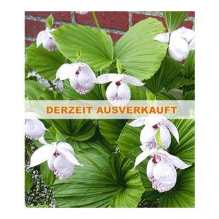 Freiland-Orchideen 'Formosana', 1 Pflanze, Cypripedium japonicum var. formosanum