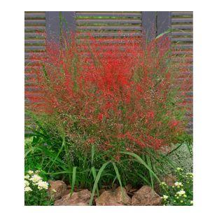 Rotes Liebesgras, 3 Pflanzen Eragrostis spectabilis