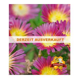 "Winterharte Eisblume ""Hot Pink Wonder"";3 Pflanzen, Delosperma dyeri"