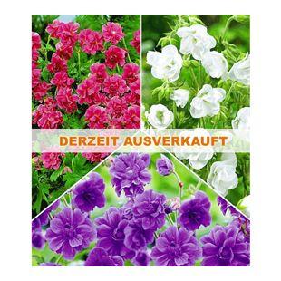 Kollektion Winterharte Geranien Stauden Sortiment, 6 Knollen Geranium himalayense