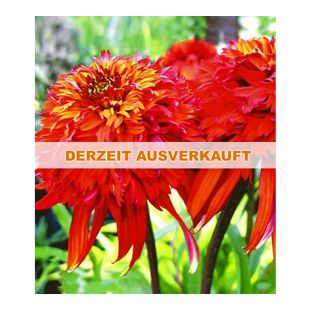 Duft-Echinacea 'Hot Papaya' Sonnenhut, 1 Pflanze