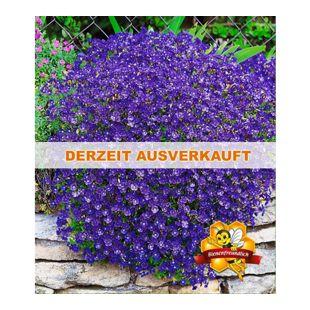 Winterharter Bodendecker Blaukissen 'Cascade Blue', 3 Pflanzen Aubrieta