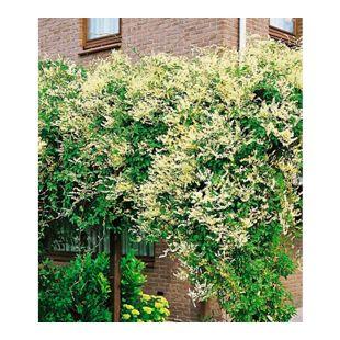 Schling-Knöterich Schnellwachsende Kletterpflanze, 1 Pflanze Polygonum aubertii