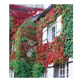 Wilder Wein 'Veitchii', 1 Pflanze Parthenocissus