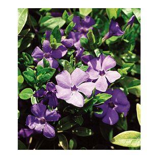 Winterharter Bodendecker Vinca minor 'Blau' Immergrün, 3 Pflanzen