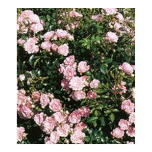 Rosen 'The Fairy', 1 Pflanze Bodendeckerrose