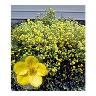Fingerstrauch 'Goldfinger' Fingerkraut, 1 Pflanze Potentilla fruticosa