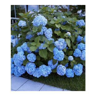Bauern-Hortensien 'Générale Vicomtesse de Vibraye®', Hydrangea macrophylla, 1 Pflanze