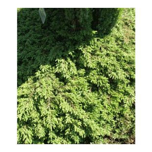 Bodendecker Kriech-Wacholder 'Green Carpet', 1 Pflanze Juniperus communis
