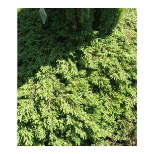 Bodendecker Kriech-Wacholder 'Green Carpet', 1 Pflanze Juniperus communis