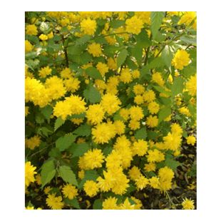 Gefüllter Ranunkelstrauch, 1 Pflanze Kerria japonica 'Pleniflora'