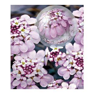 Winterharter Bodendecker Iberis Schleifenblume 'Pink Ice®', 2 Pflanzen