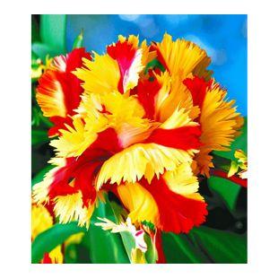 Papageien-Tulpen 'Double Flaming Parrot', 5 Zwiebeln