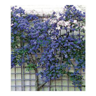 Immergrüne Säckelblume Ceanothus 'Trewithen Blue', 1 Pflanze