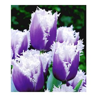 Tulpen 'Blue Cummins',  8 Zwiebeln