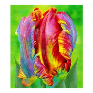 Regenbogen-Tulpen 'Blumex®', 10 Zwiebeln
