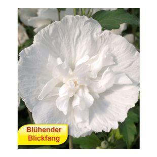 Gefüllter Hibiskus Chiffon weiß 1 Pflanze Hibiscus syriacus winterhart