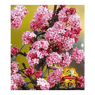 """Duft-Schneeball """"Dawn"""" Viburnum bodnantense Winterschneeball 1 Pflanze"""