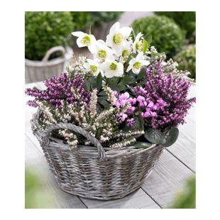 Sortiment Winterzauber, 4 Pflanzen Erica carnea & Helleborus niger