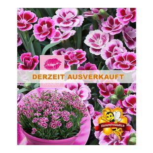 """Stauden-Nelke """"Pink Kisses®""""; 3 Pflanzen"""