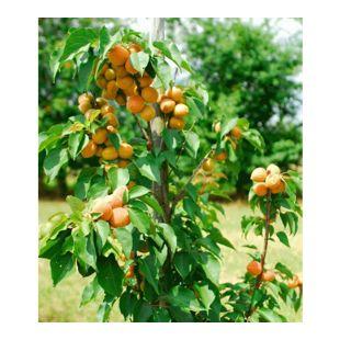 "Säulen-Aprikose ""Armi Col®"",1 Pflanze Aprikosenbaum Prunus armeniaca"