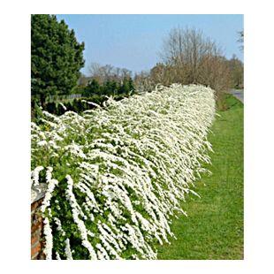 Weiße Rispen-Spiere Hecke 'Grefsheim', 1 Pflanze Spiraea cinerea