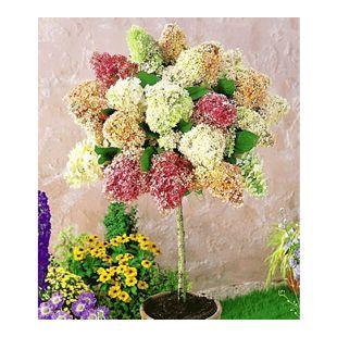 Hortensien-Stämmchen 'Grandiflora', 1 Pflanze Hydragena paniculata grandiflora