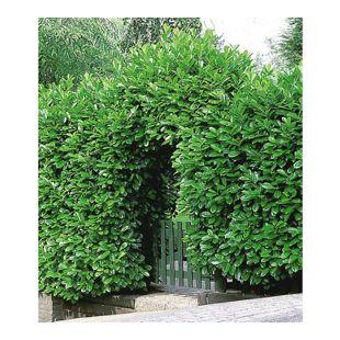Kirschlorbeer-Hecke, 1 Pflanze Prunus laurocerasus 'Rotundifolia'