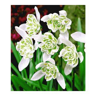 Schneeglöckchen 'Flore Pleno',  10 Zwiebeln Galanthus