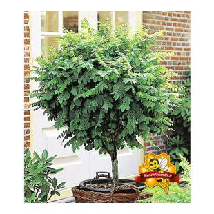 Kugel-Akazien-Stämmchen, 1 Pflanze, Robinia pseudoacaia Umbraculifera